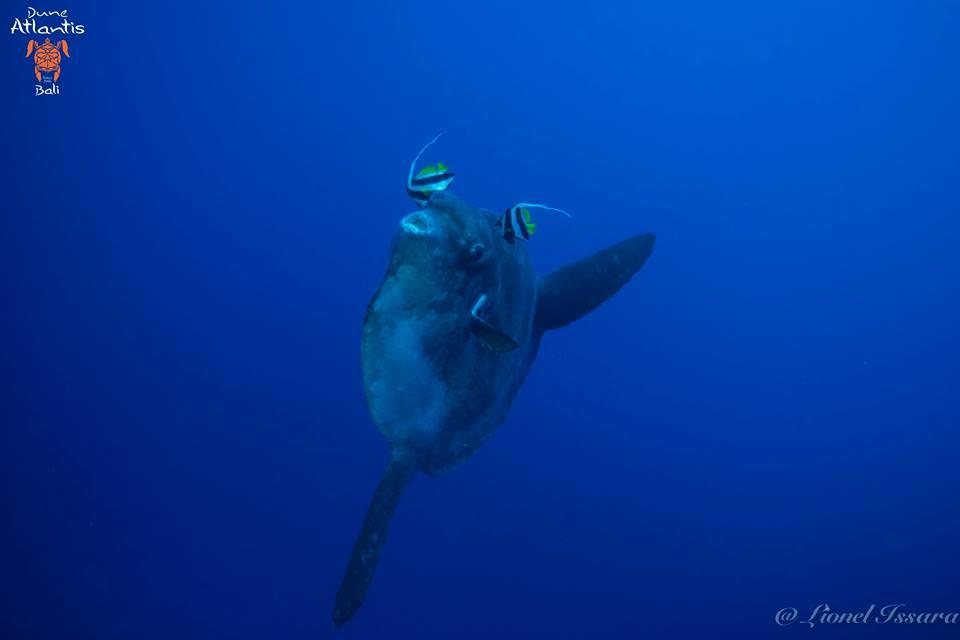 Observez le comportement des Mola-Mola à Bali